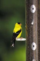 American Goldfinch on Wild Birds Unlimited Finch Feeder